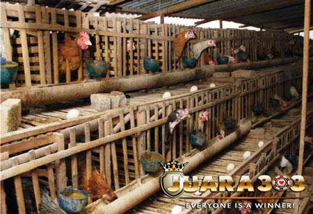 Cara Mudah Ternak Ayam Bangkok bagi Pemula