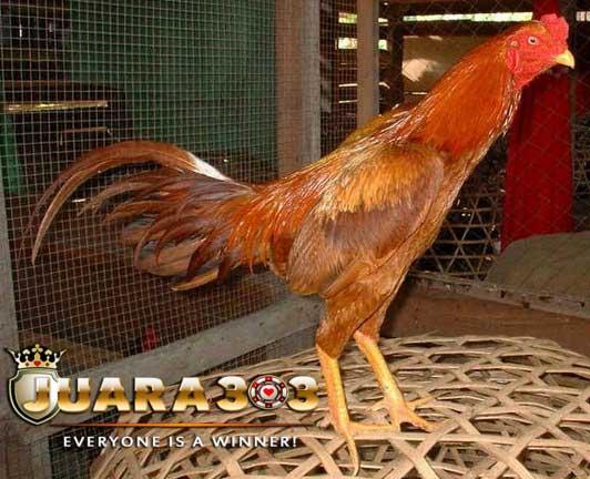 Warna Bulu Ayam Aduan Bangkok yang Paling Populer