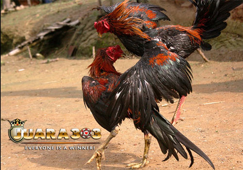 Memilih Ayam Bangkok Berdasarkan Pukulan - Sabung Ayam Online