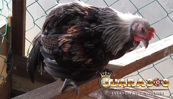 Penyebab Ayam Aduan Anda Pucat - Sabung Ayam Online
