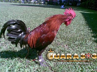 Panduan Merawat Ayam Aduan Saat Musim Kemarau Tiba