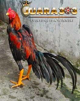Tips Mengatasi Nafsu Makan Berkurang Pada Ayam Aduan