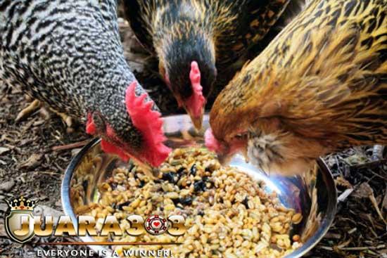 Si Kecil Gabah yang Banyak Manfaat untuk Ayam Aduan