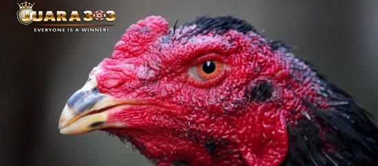 Beberapa Ciri Ciri Mata Ayam Bangkok Aduan yang Sehat