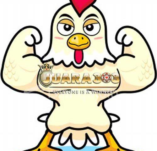 Perawatan ayam aduan