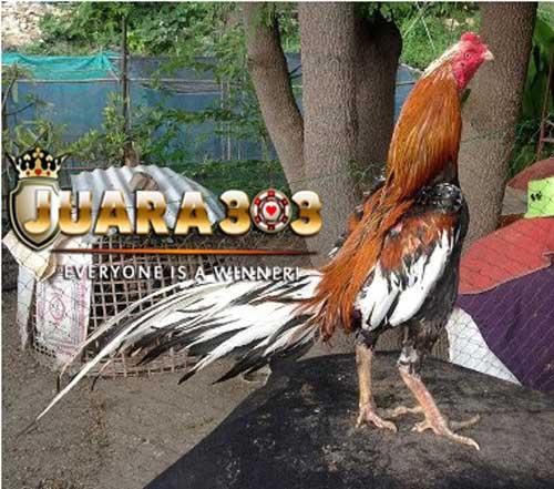 Ayam Suro pengantin