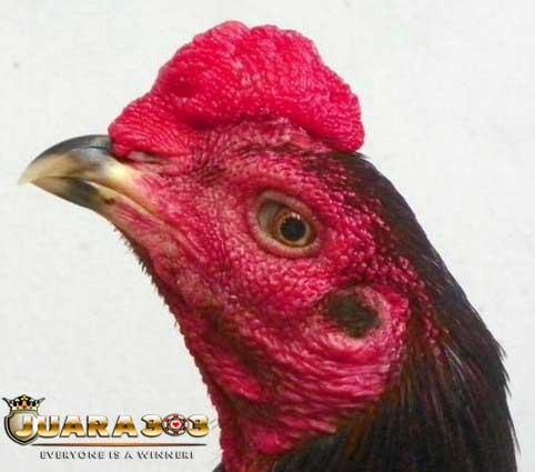Mitos Bentuk Jengger Ayam Aduan