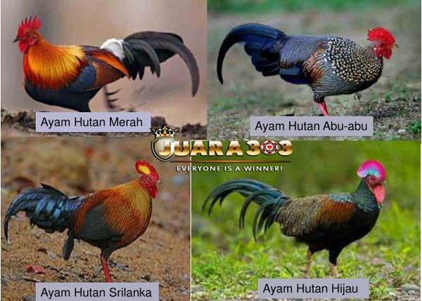 Ayam Hutan