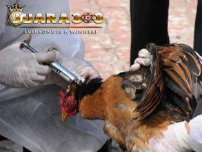 vaksin pada ayam bangkok