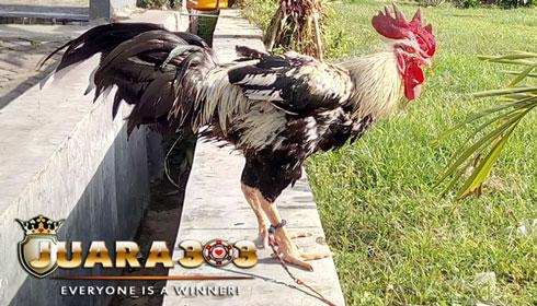 Ayam Gaok Madura - Sabung Ayam Online