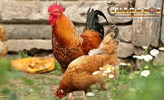 Ciri-ciri Ayam Nunukan - Sabung Ayam Online
