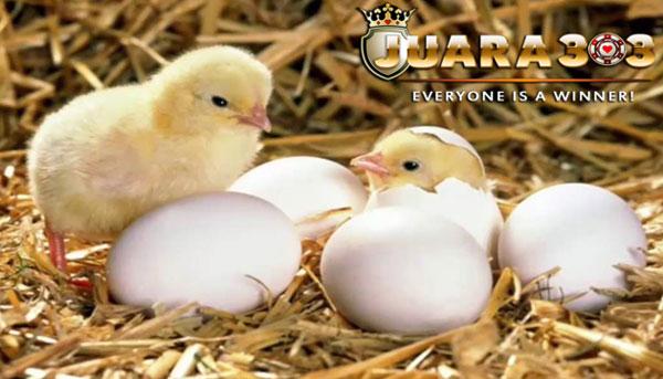 ayam aduan berkualitas - sabung ayam online