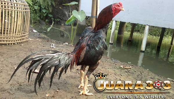 Ayam aduan memerlukan beberapa suplemen khusus - sabung ayam online