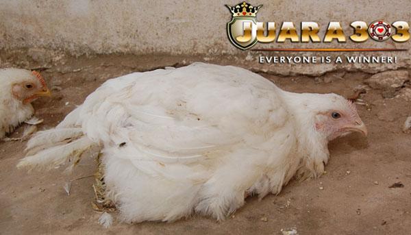penyakit gumboro pada ayam aduan - Sabung Ayam Online