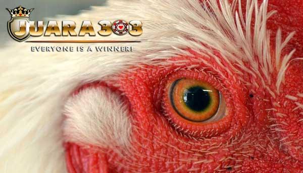 cara ampuh untuk mengobati luka mata pada ayam bangkok aduan - sabung ayam online