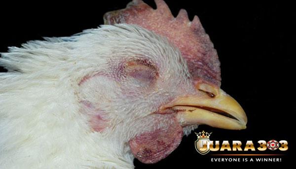 cara mencegah snot pada ayam - sabung ayam online