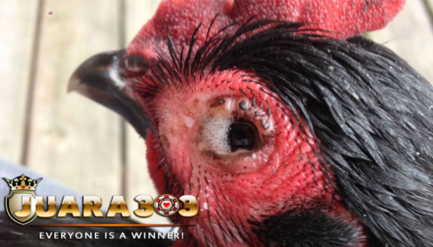 cara mengobati penyakit ayam bangkok mata berbusa - sabung ayam online
