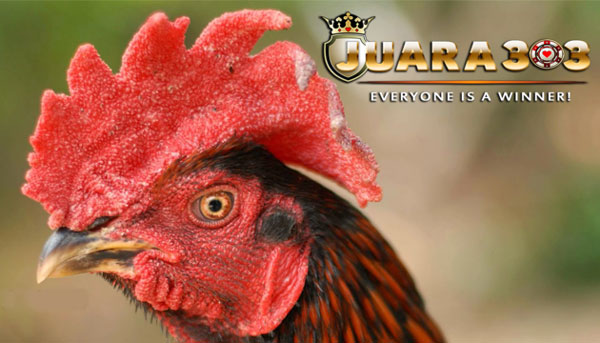 cara meruncingkan paruh ayam bangkok aduan - sabung ayam online