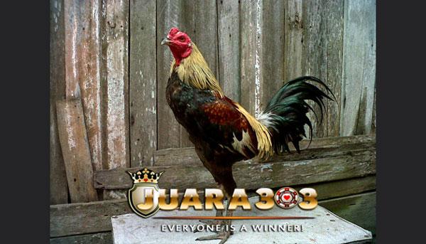 ciri ayam bangkok yang siap ditarungkan - sabung ayam online