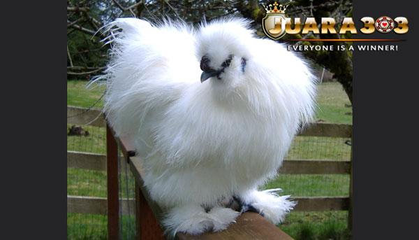 ciri khas ayam silkie - sabung ayam online