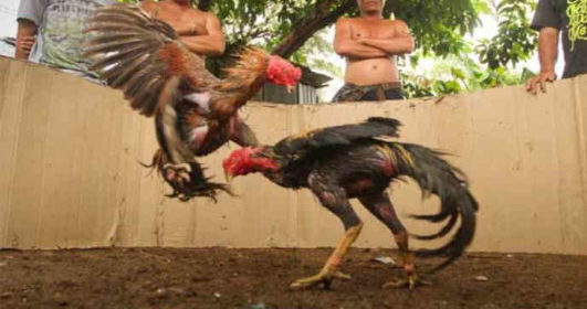 Kekuatan Utama Ayam Bangkok