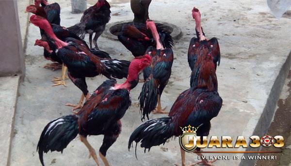 kelebihan dan kekurangan ayam laga Vietnam - sabung ayam online