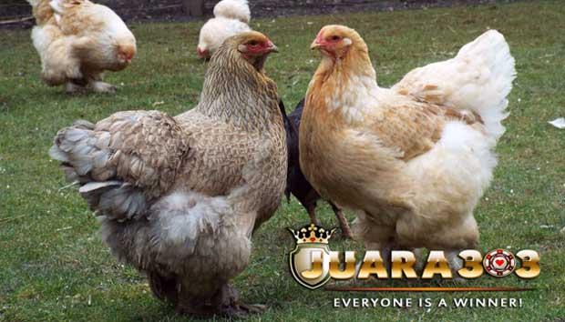 asal-usul ayam Brahma - sabung ayam online