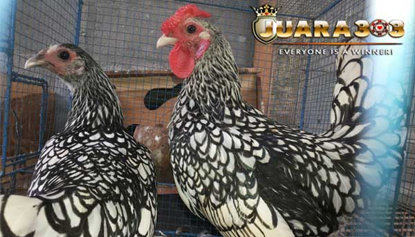ayam sebright - sabung ayam online