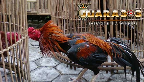 sifat ayam bangkok kanibalisme - sabung yaam online