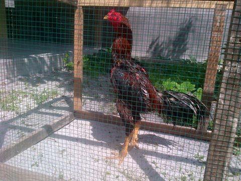 Ayam Bangkok Pukul Berkualitas