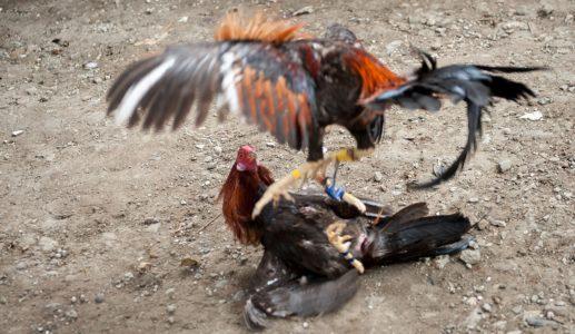 Teknik Laga Ayam Bangkok Yang Berbahaya