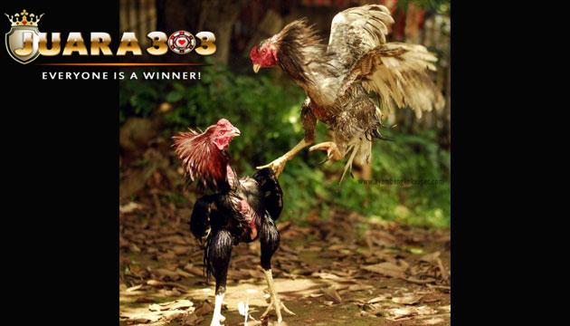 melatih ayam aduan dengan sekali pukulan - sabung ayam online
