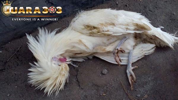 tips untuk pengobatan ayam yang terkena penyakit kolera - sabung ayam online