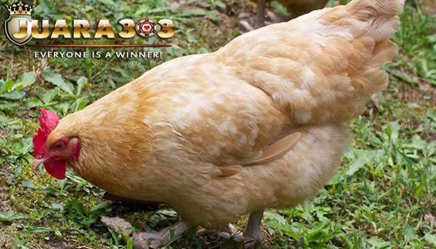 ayam orpington salah satu jenis ayam asal inggris - sabung ayam online