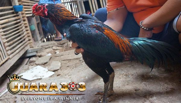 beberapa ciri ayam bangkok brajamusti - sabung ayam online