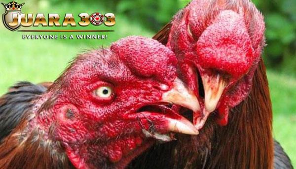 beberapa kesalahan dalam merawat ayam bangkok aduan - sabung ayam online