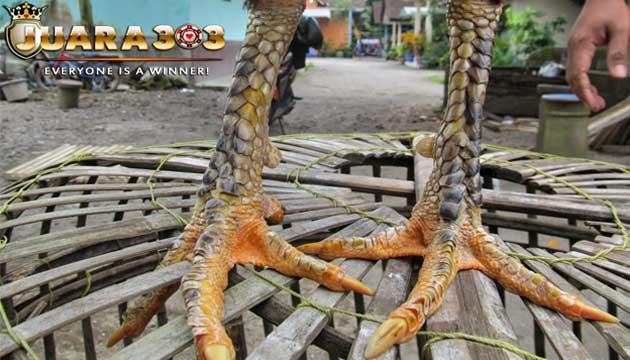 beberapa tips untuk mengeringkan sisik kaki ayam bangkok - sabung ayam online