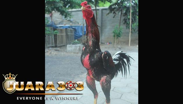 cara merawat ayam bangkok aduan super ganti bulu - sabung ayam online
