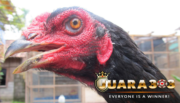 ciri kepala dan mata ayam bangkok aduan kualitas juara - sabung ayam online