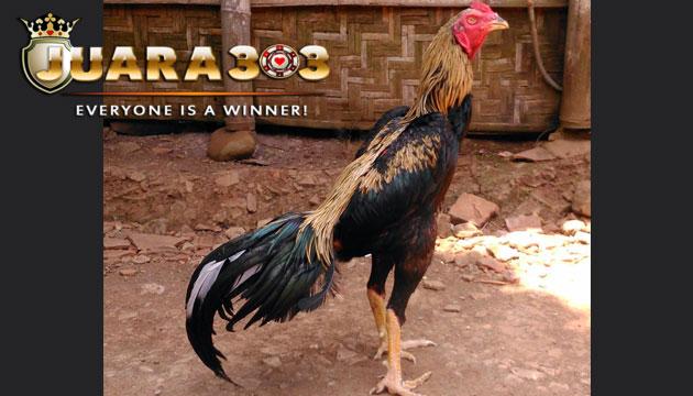 ciri ekor ayam bangkok petarung yang berkualitas - sabung ayam online