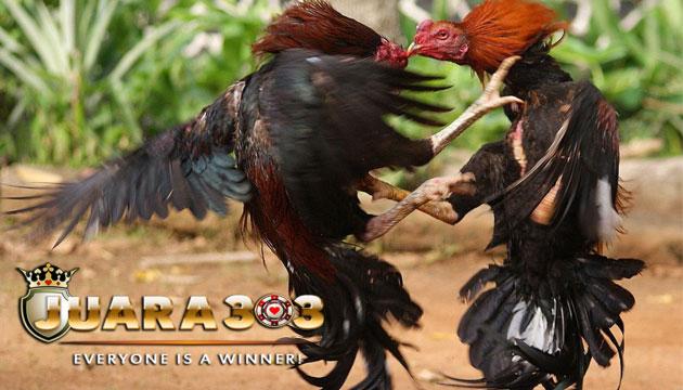 dua kekuatan yang paling diperlukan untuk ayam aduan - agen sabung ayam