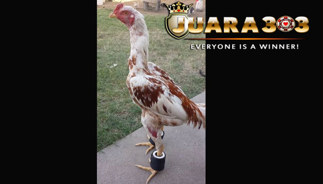 manfaat dan cara melatih menggunakan barbel ayam bangkok - sabung ayam online