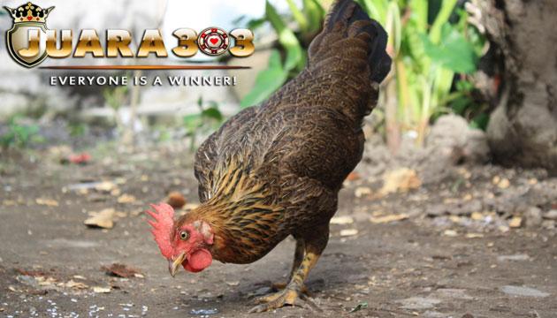 manfaat pakan ayam bangkok menggunakan beras putih - sabung ayam online