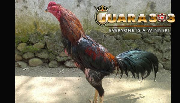 mengenal jenis ayam bangkok suro dan kelebihannya - sabung ayam online
