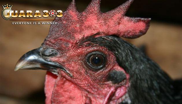 penyebab dan cara mengobati penyakit sariawan ayam bangkok - sabung ayam online
