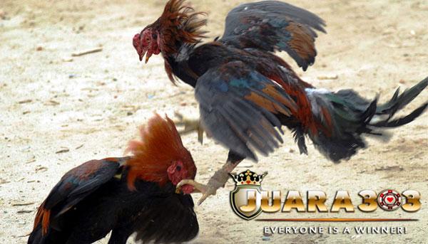 teknik bertarung ayam bangkok aduan - sabung ayam online