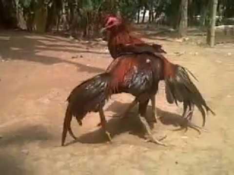 Menguatkan Leher Ayam Bangkok