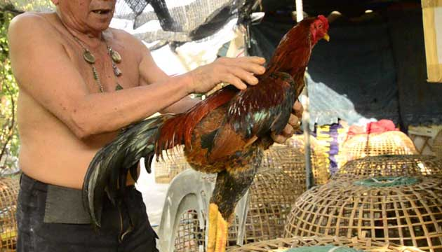 cara melatih ayam bangkok - sabung ayam online