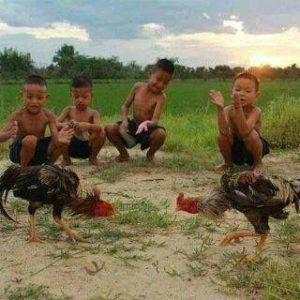 Mengobati Ayam Bangkok