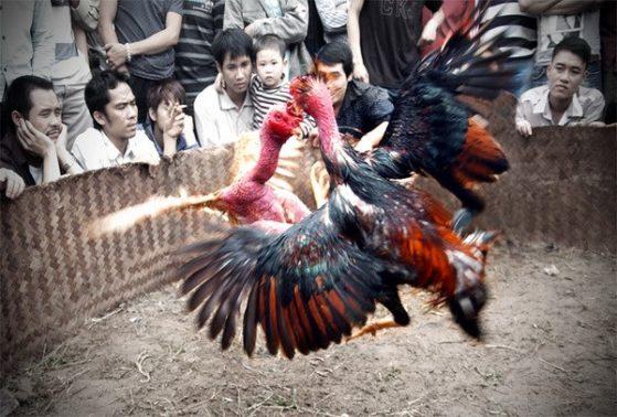 Teknik Bertahan Ayam Laga